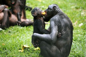 bonobo-food-sharing_0
